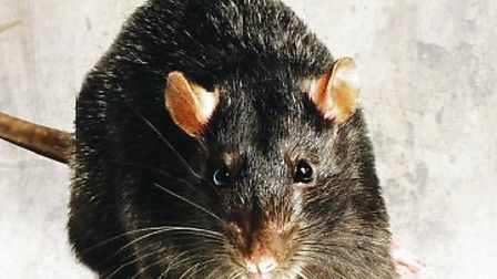 Saffron Walden police station was deserted last week after the reported sighting of a rat
