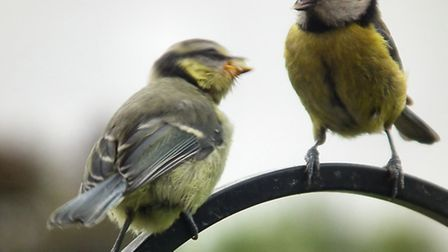 Blue tits were the top bird in Herts in last year's poll