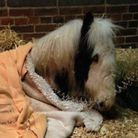 Gizmo the foal, found apparently abandoned in Ridgewell, receiving treatment.
