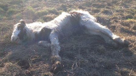 Gizmo, a tiny piebald cob, was found without his mother near Ridgewell Caravan Park in Yeldham Road,