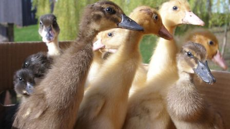 Baby ducklings abandoned at Mountfitchet Castle.