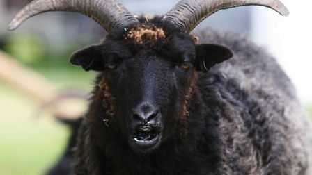 A ram was attacked and killed in Elsenham last week.