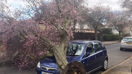 The cherry tree which fell in Whitehurst Avenue. Picture: Erica Willoughby-Smith
