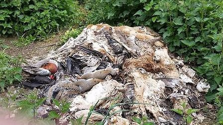 A walker took a photo of a heap of dead animals within yards of a public footpath, in Spital Wood,wh