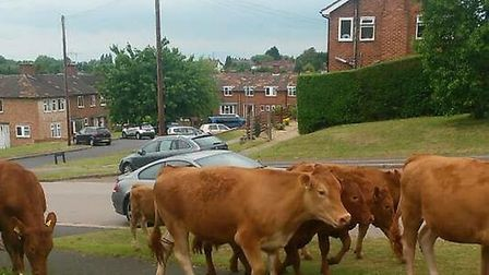 Police called as cows roam Hitchin streets before being moo-ved on.