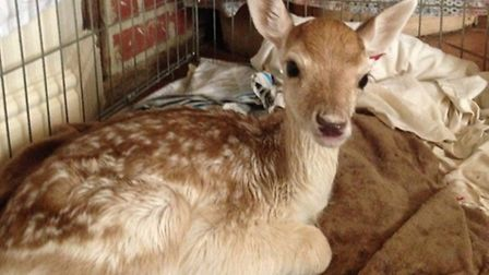Baby deer given to Stansted Mountfitchet Castle
