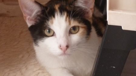 Xanda was found in Benington in a box in a shed and is on the RSPCA's website for rehoming as his o