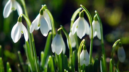 Snowdrops are one of the highlights of a visit to Walkern Hall at this time of year