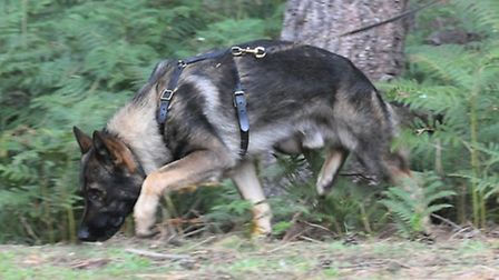Blue, the police German Shepherd who tracked down a man who fled from his car in Baldock. Photo: @do