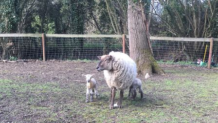 The two new lambs, with their mother, who were partly responsible for the discovery of Gary