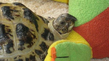 Issy the tortoise is only 15, so could have another 45 years to live if he comes home safe.