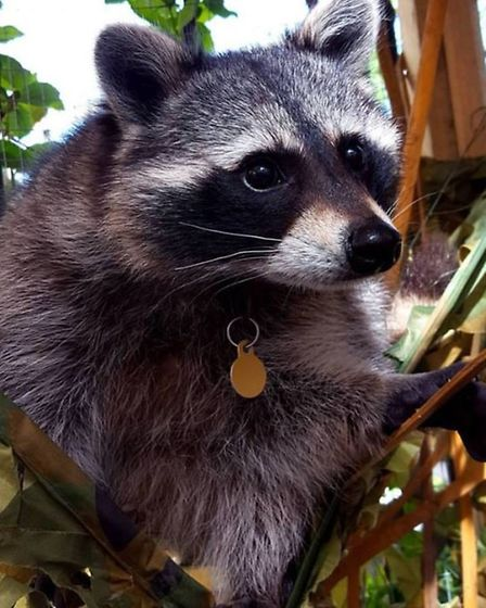 Cody the raccoon's Facebook page has more than 16,000 likes.