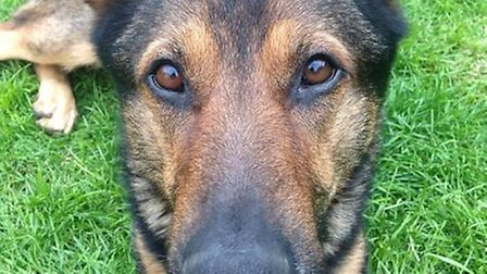 Police dog Finn is on the road to recovery.
