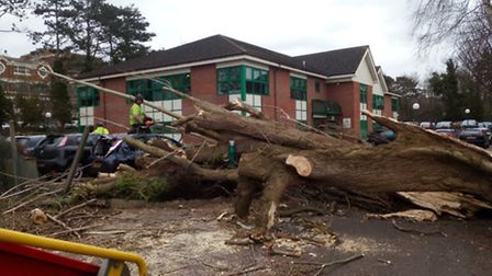 The tree blown over next to Busy Bees in Letchworth by Storm Doris.