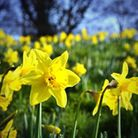 Daffodils at Audley End