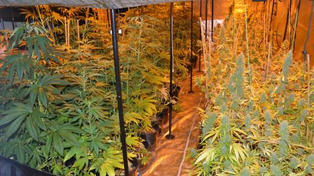 The cannabis factory found by police at Shangri-La Farm, in Todds Green near Stevenage, on December