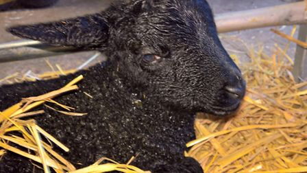 One of the newborn lambs at Stratton School Farm in Biggleswade. Photo: Supplied