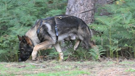 Police Dog Blue follows a trail. Picture: Beds, Cambs and Herts Dog Unit