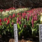 Tulips at Audley End