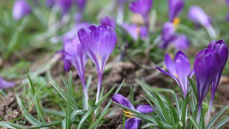 Crocuses planted by pupils from Longmeadow school as part of the End Polio Now campaign in conjuncti
