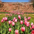 Tulips in the Pond Garden at Audley End