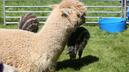 An alpaca and an emu at the William Ransom summer fete. Picture: Danny Loo