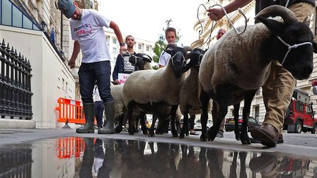 A flock of sheep are herded past government buildings in Whitehall. Photograph: Yui Mok/PA Wire.