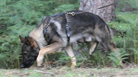 Police dog Blue, who sniffed out Elroy Samuel after a two-mile track. Picture: Herts police