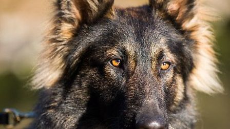 Police dog Harley. Picture: BCH Police Dogs