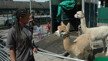Llamas in Stevenage town centre - not something you see every day