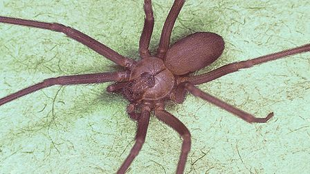 Brown recluse spider's venom can be deadly depending on the victims reaction. Picture: Public Health