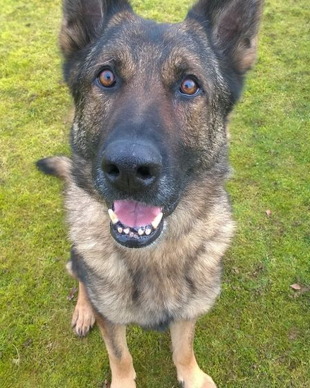 Retired Police Dog Blue. Picture: Herts Police