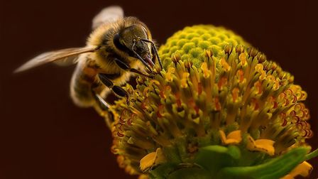 The bee photograph by Karen Brammer from Shefford that has made it into the last 12 for Internationa