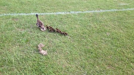 The mother duck with her nine-strong brood.