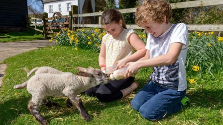 Children feeding lambs at Standalone Farm in Letchworth. Picture: Heritage Foundation