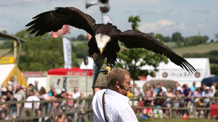 A bald eagle on display at the Herts County Show. Picture: Danny Loo