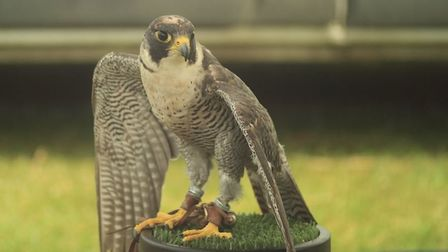Birds of prey were on display at the annual event in King George V playing fields. Picture: Cave Art