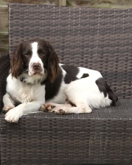 Springer Spaniel Dizzie is joining the BCH Police Dogs Unit. Picture: Giles Cooper