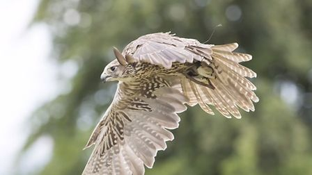 There will be bird displays at the annual Ashwell Show on August bank holiday Monday. Picture: Court