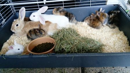 The outdoor rabbits could have caught the infectious disease through plants or bird droppings. Pictu