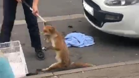 Miraculously the fox sruvived the ordeal, after being stuck of 12 hours. Picture: RSPCA