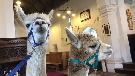 Reverend Gini walked the alpacas through the village over to the church. Picture: Joanne Peace