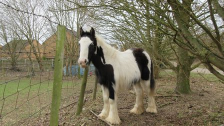 Colin the abandoned pony, pictured in Potton on Chris' first visit in early 2018. Picture: Chris Sha