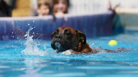 Visitors dogs have a go at diving at DogFest 2019 at Knebworth House. Picture: DANNY LOO