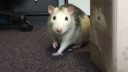Reggie the rat has found a loving new home thanks to the Home Direct scheme. Picture: Kirsty Reeder.