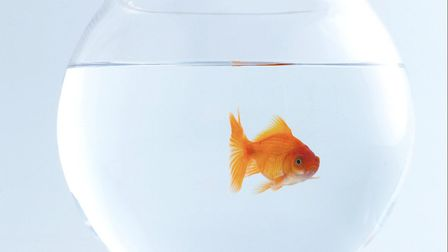 Should goldfish be given as prizes at fairgrounds?