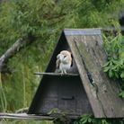 Saffron Walden's barn owls featured on the One Show. Picture: CONTRIBUTED