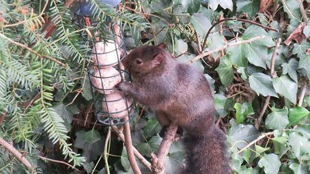 Rachel Tricket photographed squirrels outside her lounge window this week. Picture: Rachel Tricket
