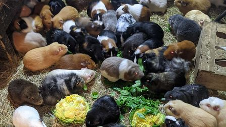 The Evans family have homed over 200 neglected guinea pigs. Picture: Jane Evans