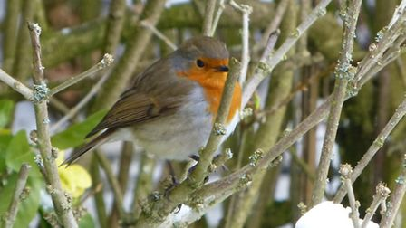 A robin in the snow in Hatfield